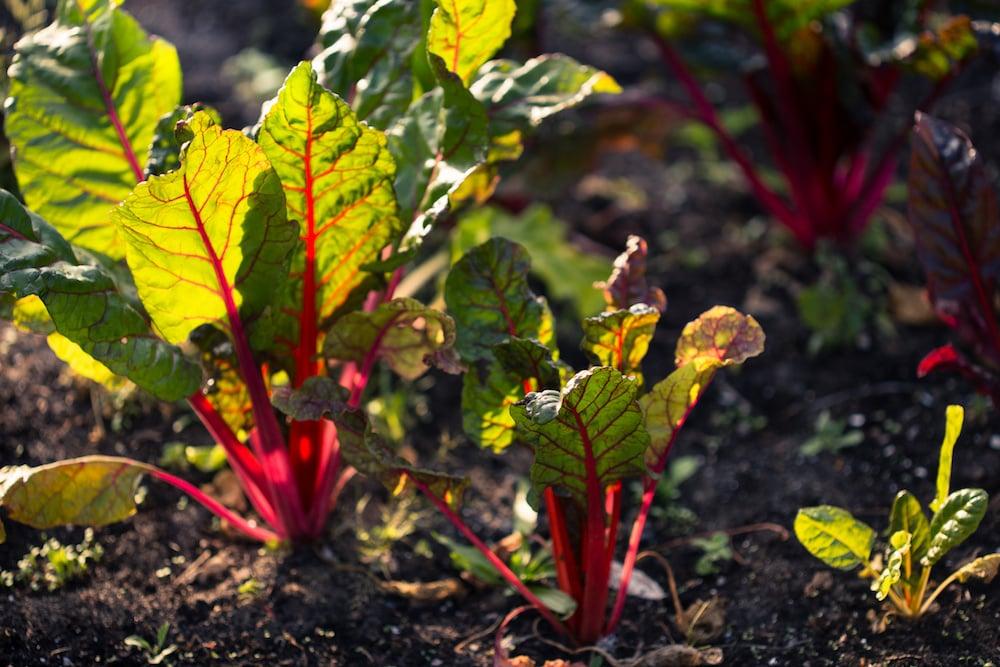 Swiss chard in a vegetable garden